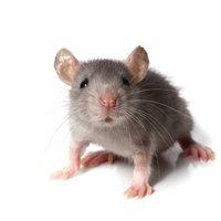 Des souris dans le placoplatre à Lunel ?
