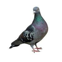 Lutter contre les fientes de pigeon à Mauguio
