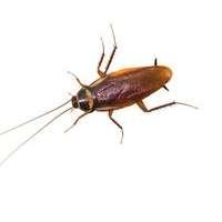 Lutte contre les blattes à Nimes