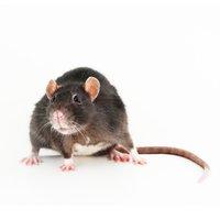 Des rats dans un restaurant à Castries ?