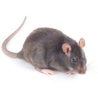 Lutte contre les rats à montpellier